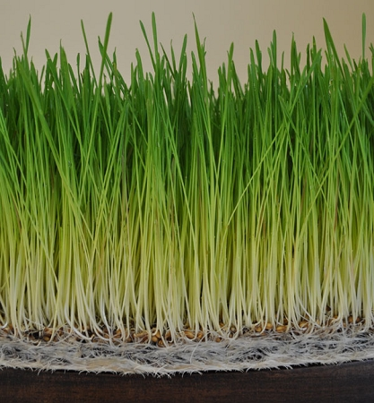 Wheatgrass Benefits of Sprouts & Juice