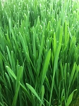 Organic Wheatgrass Sprouts